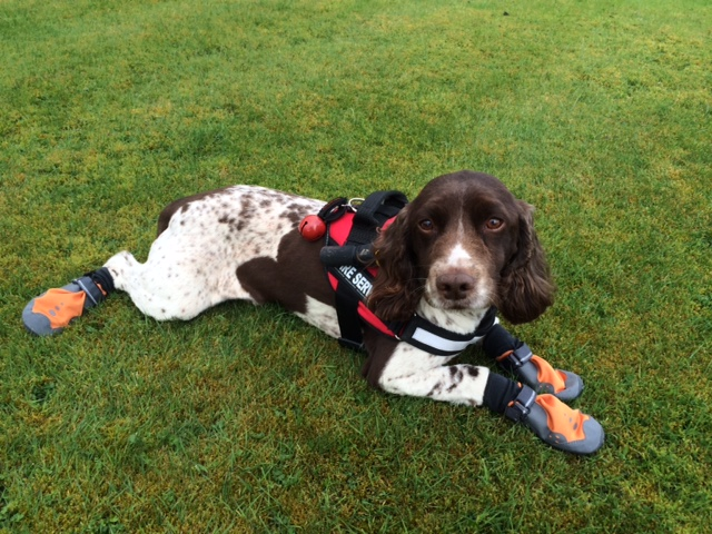 Diesel the urban search and rescue dog dresses in protective booties for training exercise
